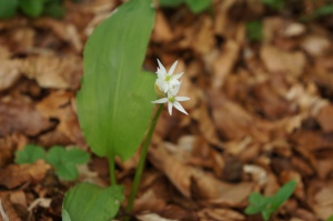 Ail des ours (Allium ursinum) - Famille : Amaryllidaceae