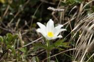 Anémone des bois (Anémone Némorosa) - Famille : Ranunculaceae
