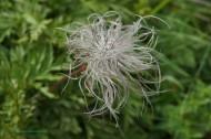 Pulsatilla alpina fruit - Famille : Renonculacées