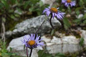Aster des Alpes (Aster Alpinus) - Famille : Asteracea