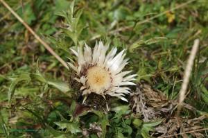 Carline à feuilles d'acanthe (Carlina acanthifolia) - Famille : Astéracées