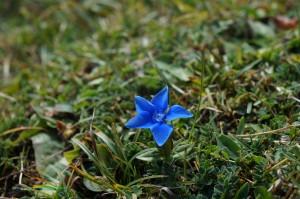 Gentiane de printemps (Gentiana verna) - Famille : Gentianacées