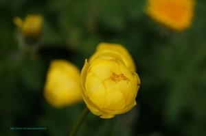 Renoncule de montagne ou boule d'or (Ranunculus montanus) - Famille : Renonculacées