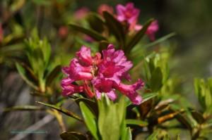 Rhododendron ferrugineux (Rhododendron ferrugineum) - Famille : Éricacées